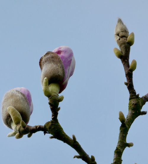 Magnolia about to break free EyeEm Selects Plant Growth Beauty In Nature Sky Flower Nature No People Flowering Plant Freshness Clear Sky Low Angle View Bud Close-up Vulnerability  Beginnings Fragility Tree Day New Life Inflorescence