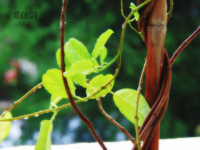 Just taking snaps.. Plant Nature Green Leaves At My House <3 Nikonphotography