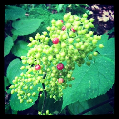 Araliaracemosa berries chanomg colors...a lovely Pink and Green , heading to Purple ? spikenard