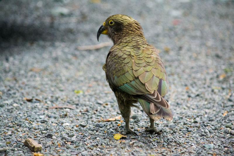 Kea Bird Alpine