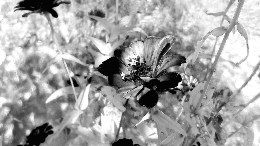 Nature Flower Growth Beauty In Nature Plant No People Outdoors Day FragilityEyeEm Nature Lover Flower Collection Wildflowers Flores Freshness Flower Head Eyeemphotography Blackandwhite Black And White Black & White Blackandwhite Photography Black And White Photography Black And White Collection