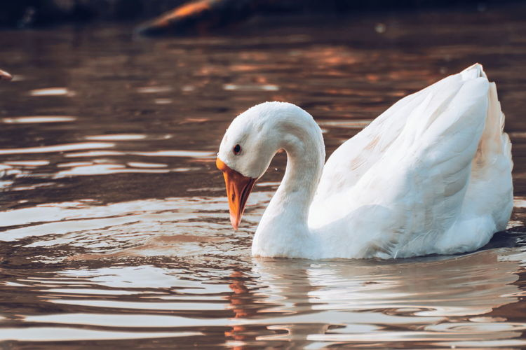 Pure Beauty! One Animal Animals In The Wild Bird Animal Themes Water Sunlight Swimming Nature Outdoors Animal Wildlife Day No People Beauty In Nature Close-up Swan Pelican The Magic Mission Fresh On Eyeem  Looking At Camera Swans Duck Golden Golden Water Beauty In Nature