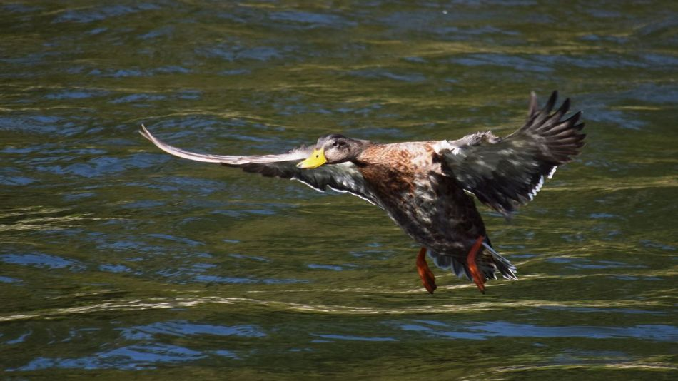 Animal Animal Themes Beauty In Nature Clackamas Clackamas River ClackamasCounty Clackamasriver Close-up Day Duck Ducks Flight Focus On Foreground Geese Nature No People Oregon Oregon City Oregon City Clackamette Park Oregon Outdoors Outdoors Rippled Water The Week Of Eyeem NIKON D5300