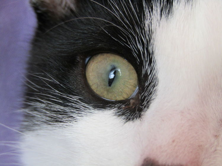 Animal Eye Animal Themes Blue Eyes Cat Close-up Day Domestic Animals Domestic Cat Feline Indoors  Looking At Camera Mammal No People One Animal Pets Portrait Siamese Cat Whisker Yellow Eyes
