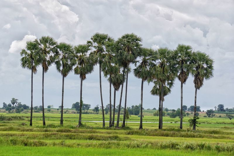 Rice Field Sugar Palm Tree Plant Tree Growth Sky Field Cloud - Sky Nature Green Color Day Land Beauty In Nature Outdoors