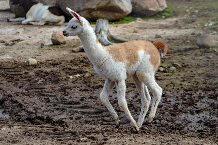 A baby Lama