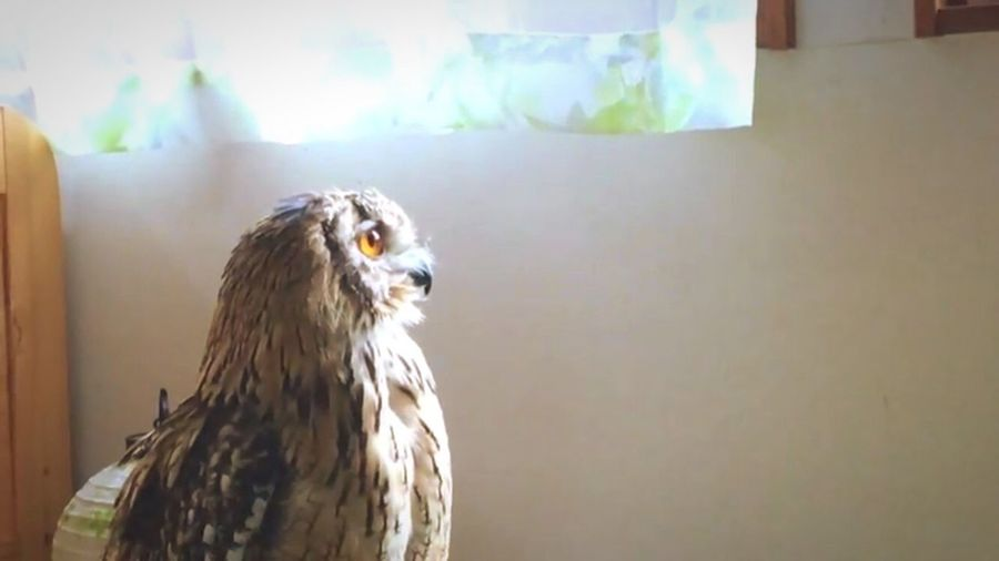 静寂とふくろう やわらかい フクロウ ベンガルワシミミズク 光 光と影 モデル 芸術 神秘 猛禽類 静寂 Animal Animal Themes Bird Vertebrate One Animal Animal Wildlife Bird Of Prey