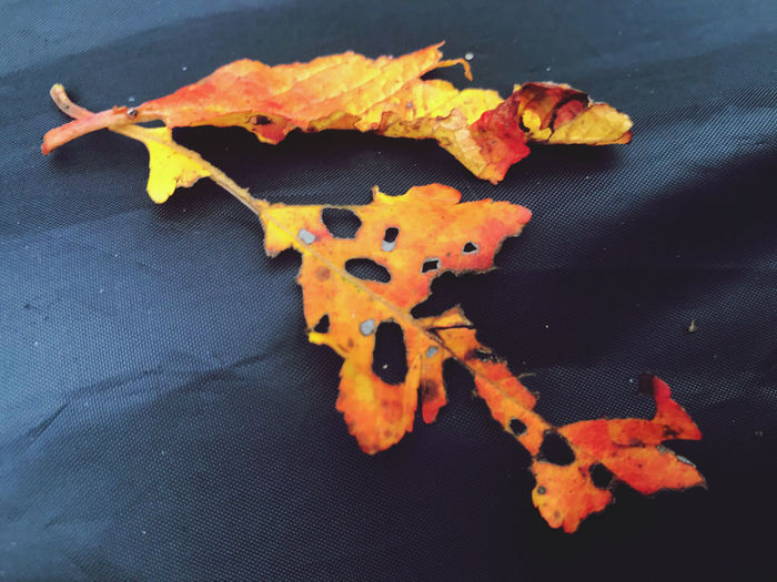 High angle view of maple leaves on table