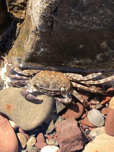 Crabe Animal