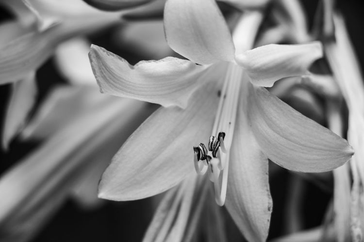 Black & White Beauty In Nature Black And White Blackandwhite Close-up Flower Flower Head Flowering Plant Fragility Freshness Growth Hosta Mono Monochrome monochrome photography Nature Petal Plant Pollen Pollination