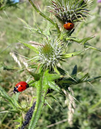 Animal Themes Animals In The Wild Beauty In Nature Beetle Bug Close-up Day Focus On Foreground Insect Ladybirds Ladybugs Nature No People Outdoors Two Animals