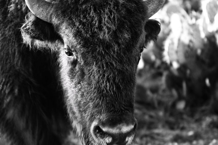 One Animal Animal Themes Livestock Domestic Animals Mammal Cow Cattle Animal Head  Focus On Foreground Field Outdoors Close-up No People Nature Texas Photographer Bison, Buffalo, Blackbirds, Wyoming, Wild, Animal, Horns, Fur, Raw, The Week On EyeEm Blackandwhite Photography Blackandwhite Animals In The Wild