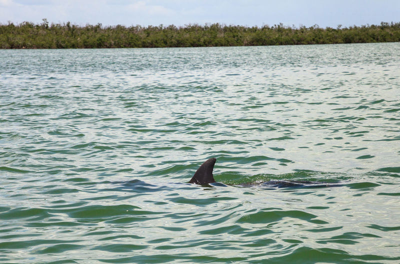 Bottlenose dolphin Tursiops truncatus swims along the shoreline of Cape Romano, Florida in summer with mangroves in the background. Coastline FIN Nature Tursiops Truncatus Animal Animal Themes Animal Wildlife Animals In The Wild Bottlenose Dolphin Bottlenose Dolphins Dolphin Florida Life Mammal Marine Mammal Nature Ocean Vertebrate Water Waterfront Wildlife