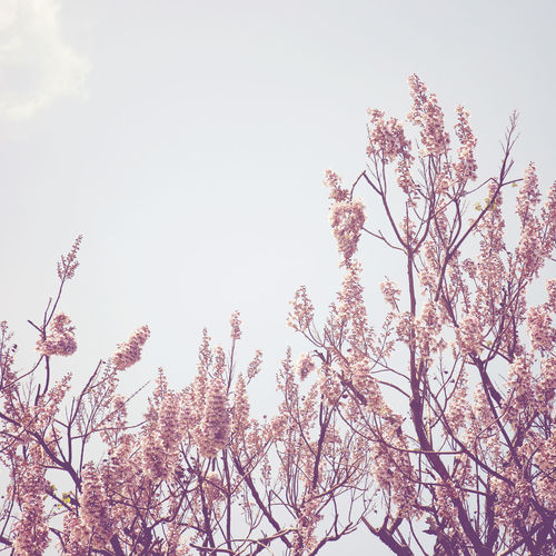 Sky Plant Low Angle View Tree Flower Growth Beauty In Nature Flowering Plant Branch Nature No People Tranquility Day Blossom Freshness Fragility Clear Sky Springtime Vulnerability  Outdoors Cherry Blossom Cherry Tree Spring Japan Spring Flowers Flowering Plant