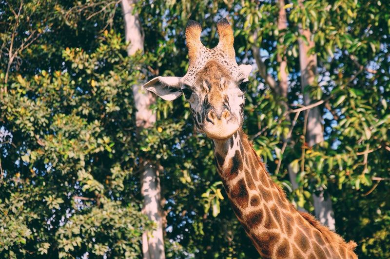 Giraffe Africa Species Animal Endagered Species Tall Animal Themes Nature One Animal Mammal Outdoors Animals In The Wild Animal Wildlife Day Beauty In Nature Tree