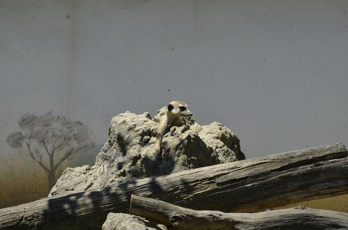 Animal Themes Animals In The Wild Meerkat Meerkat, Cute Animals, Furry, Animal Close Up, Yellow, Zoo, Zoo Pics, Meerkat Pics Nature One Animal Outdoors Relax Relaxing Taking Photos Surikata