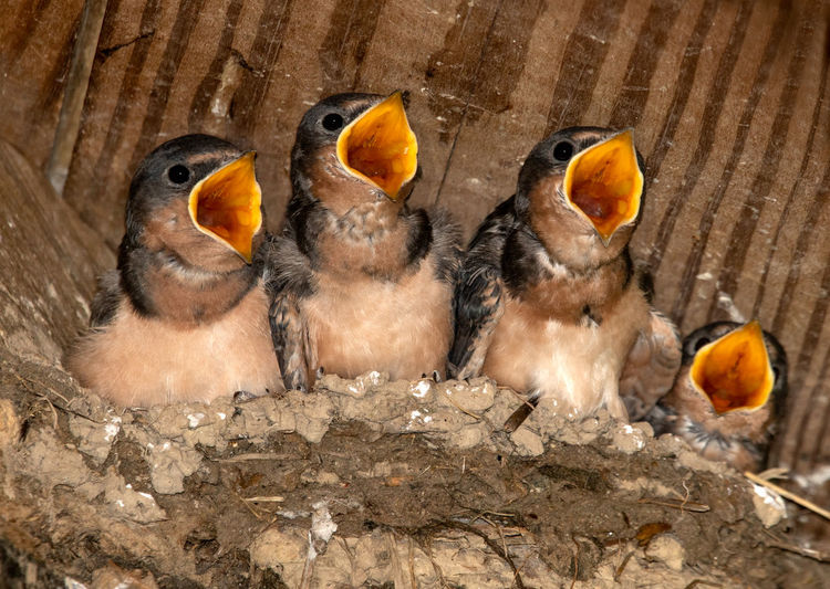 Feed Us! Babies Swallows Wild Wildlife & Nature EyeEm Nature Lover EyeEmSelect Bird Photography Canon Canonphotography Canon7dMK2 Nest Nesting Birds Barn Swallows Barn Swallow Nest Mouth Open Hungry! EyeEm Selects High Angle View Close-up