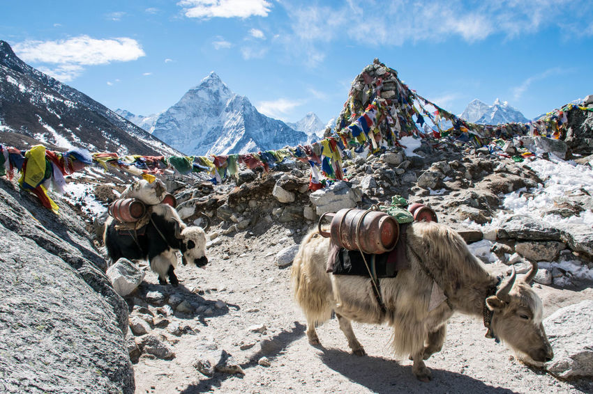 Nepal Connected By Travel Yak Beauty In Nature Cold Temperature Mountain Mountain Range Nature Outdoors Snow Snowcapped Mountain Be. Ready.