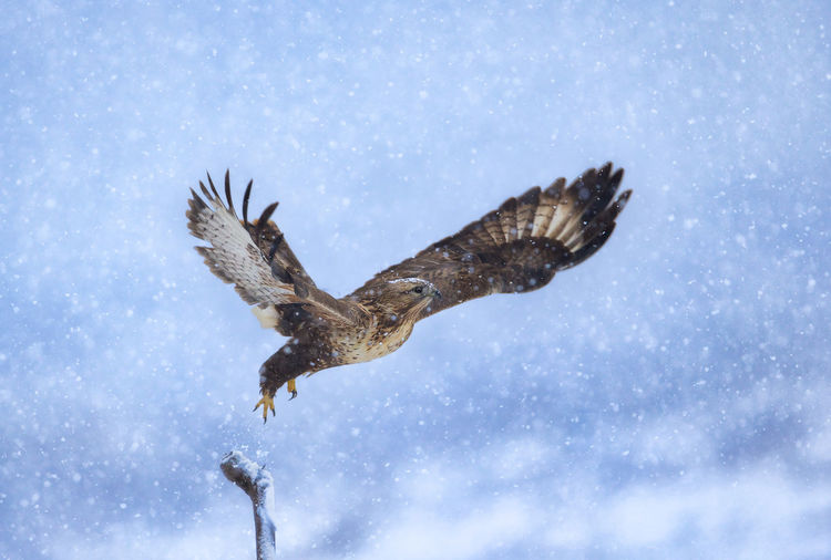 Upland Buzzard is flying with snow. Animal Wildlife Animals Beauty In Nature Bird Birds Blue Buzzard  Flowers Fly Low Angle View Nature No People Showcase July Snow Spread Wings The Great Outdoors - 2016 EyeEm Awards Upland Buzzard Wildlife