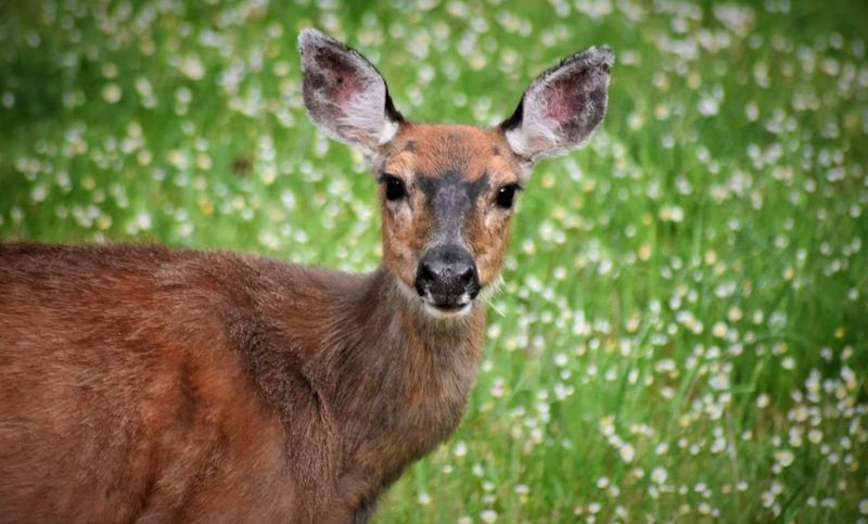 Deer Animal Wildlife Animals In The Wild One Animal Portrait Looking At Camera Grass Mammal Outdoors Day Animal Themes No People Nature Close-up