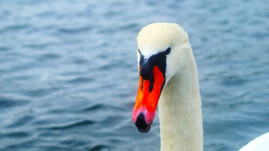 Close-Up Portrait Of Swan Swimming In Lake