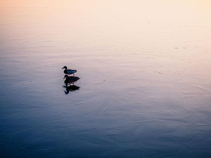 Two ducks on a frozen lake