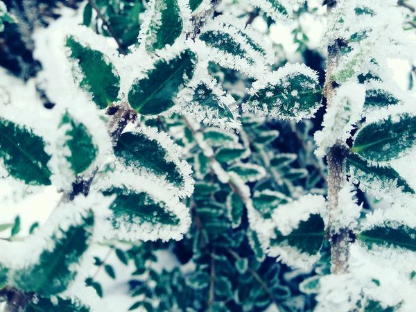 Nature Winter Close-up Cold Temperature Snow Beauty In Nature Growth No People Plant Outdoors Day Tree Fragility Backgrounds Needle - Plant Part