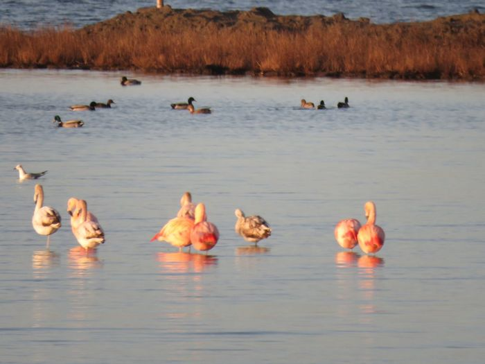 Amazing flamingo's in the wild Staatsbosbeheer Lake Animal Themes Bird Animal Wildlife Reflection Large Group Of Animals Flamingo Waterfront
