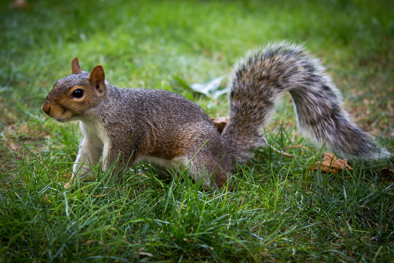 animal themes, animal, grass, animal wildlife, mammal, animals in the wild, plant, field, land, one animal, vertebrate, green color, nature, no people, day, rodent, close-up, squirrel, side view, focus on foreground, herbivorous