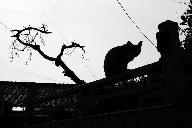 Blackandwhite Monochrome Cat Silhouette