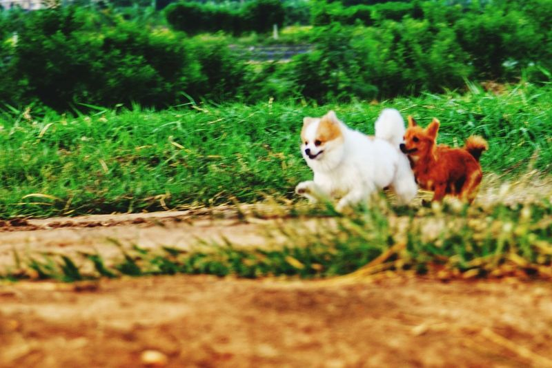 dogs runing Action Shot  Action Sports White Dog Red Dog Nature Pomeranian Chiwawa Chiwawa Puppy Runing Lovely Pets Dog Tree Grass