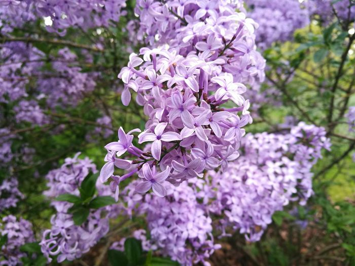 Lilac Lilacs Lilac Flower Lilac Flowers Lilac Tree Lilac Bush Lilac Color Lilac And Green Flower Beauty In Nature Nature Springtime Growth Botany Close-up Close Up Nature HuaweiP9 Smartphone Photography Branch Flowers,Plants & Garden Spring In London Nature Photography Spring Day Garden Spring Blossoms