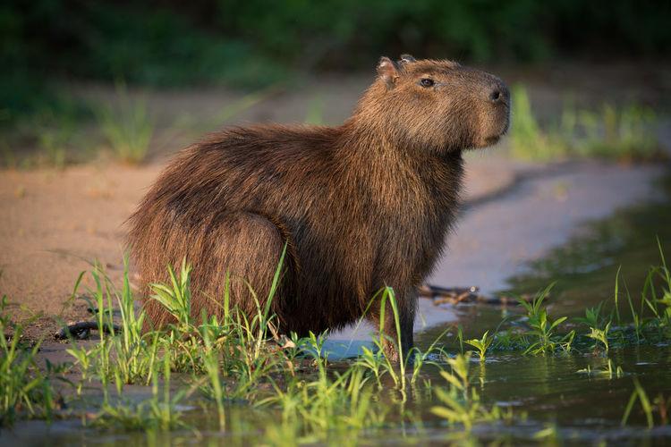 Capybara in grass