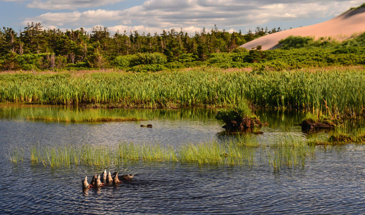 greenwich national park pei Greenwich Park Animal Themes Animal Wildlife Animals In The Wild Beauty In Nature Bird Cloud - Sky Day Ducks Ducks At The Lake Dune Grass Growth Lake Mammal Nature No People Outdoors Prince Edward Island Scenics Sky Swimming Tranquility Tree Water