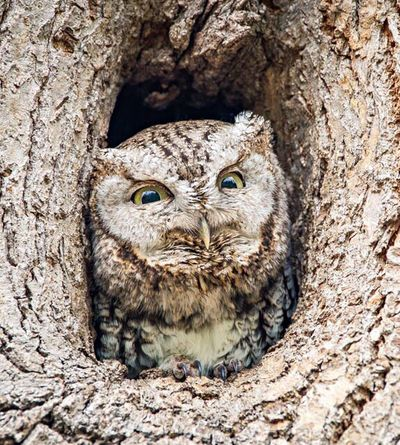 Coffee, please!! Eastern Screech Owl Screech Owl Owl Owls Minnesota Minnesota Nature Nature Photography Animals Nature Original Experiences
