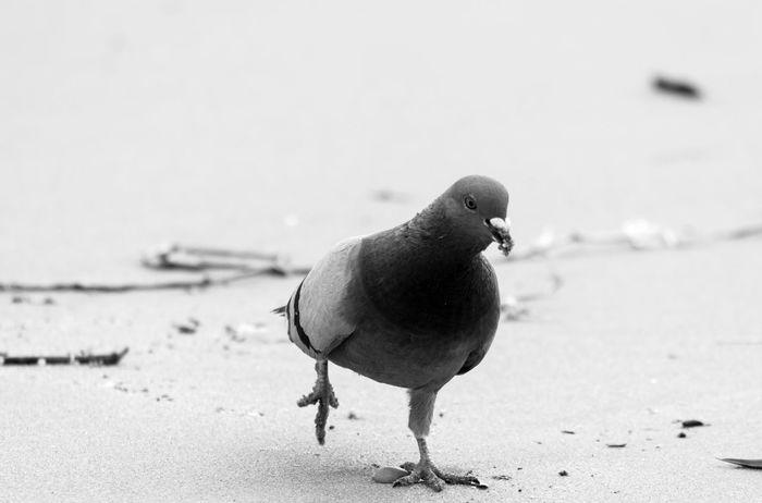 Animal Animal Themes Beachphotography Bird Bird Of Prey Bird Photography Bird Watching Birdwatching Black And White Black And White Photography Blackandwhite Blacknwhite Bnw Eye Em Best Shots Eye4photograghy EyeEm EyeEm Bnw Monochrome Pigeon Pigeons Seashore Seaside