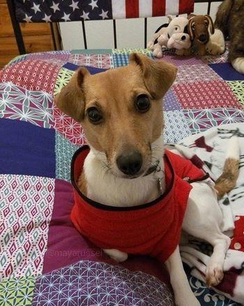 Un joli Selfie de fin de semaine 🐕😀😉📷 Cocooning Happynewyear 2016 Bonneannee Jackrussel Hug Love Dog Instacute Instalove Ilovemydog Iloveyou Jrt Happynewyear2016 Lovedogs Dogstagram Doggy