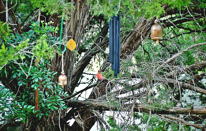Beauty In Nature Bird Cardinal Day Green Green Color Growth Nature Outdoors Peace Plant Red Bird Stand Out From The Crowd Tree Tweet Wind Chimes