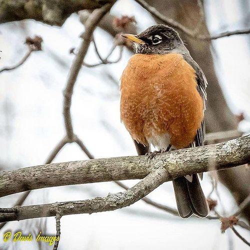 American Robin 🐦 Robin Thrush Kings_birds Americanrobin TeamCanon Tamron150600mm 7dii Ig_discover_birdslife Naturephotography Ohiobirding Birdsofinstagram Featheredfriends Outdooradventures