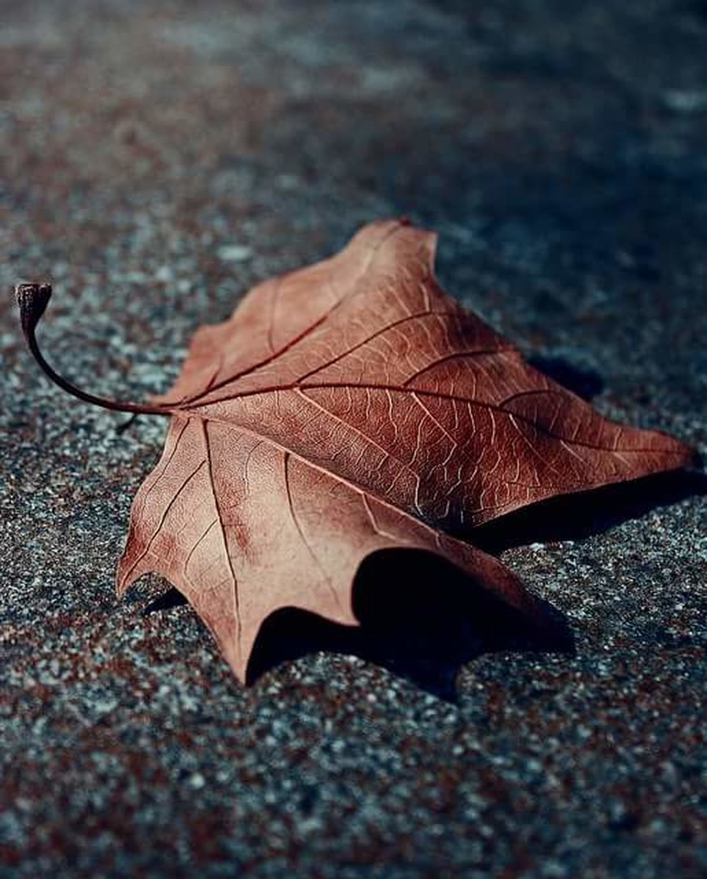 plant part, autumn, leaf, dry, change, close-up, no people, nature, maple leaf, leaf vein, selective focus, falling, fragility, vulnerability, day, brown, outdoors, footpath, textured, single object, natural condition, leaves, surface level, autumn collection