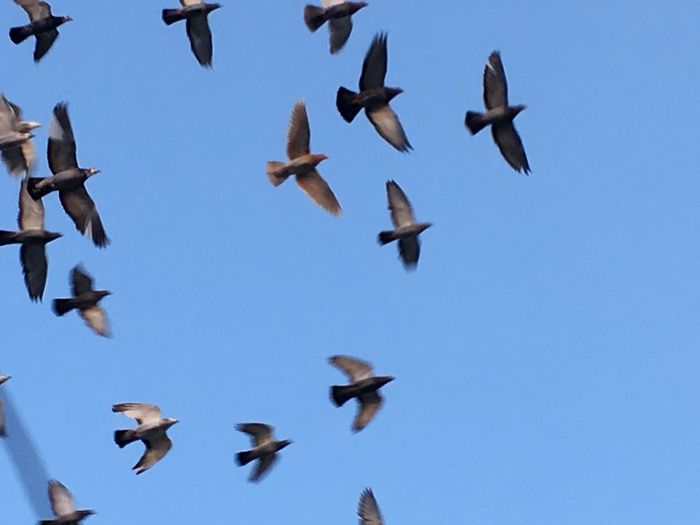 Birds Flying Vertebrate Animal Themes Bird Animals In The Wild Animal Animal Wildlife Group Of Animals Large Group Of Animals Spread Wings Low Angle View Sky Flock Of Birds No People Blue Mid-air Clear Sky Day Motion Nature