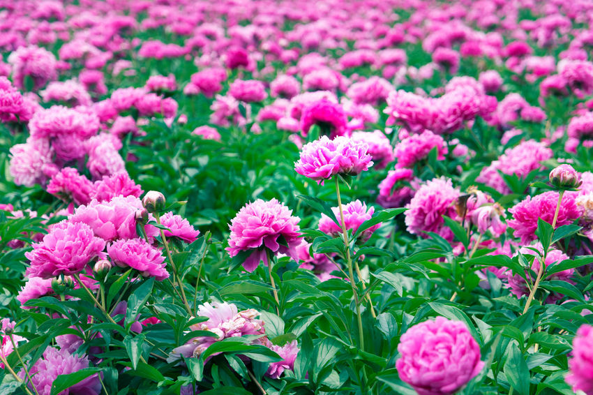 ASIA Chinese Peony Colors Green Japan Nature Beauty In Nature Colorful Common Garden Peony Day Flower Highkey No People Paeonia Lactiflora Peony  Pink Color Purple Silent Moment Spring Springtime