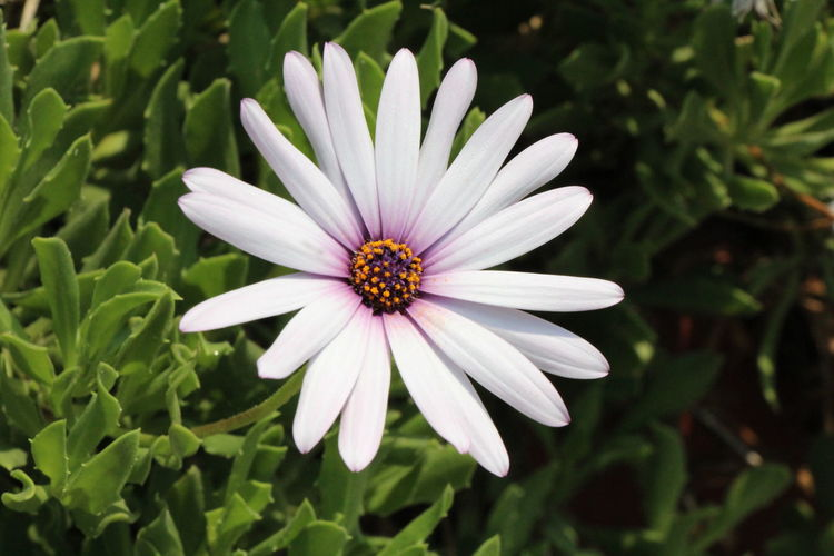 Close Up of White Flower Beauty In Nature Close-up Day Flower Flower Head Flowering Plant Focus On Foreground Fragility Freshness Growth Inflorescence Nature No People Osteospermum Petal Plant Pollen Purple Vulnerability  White Color