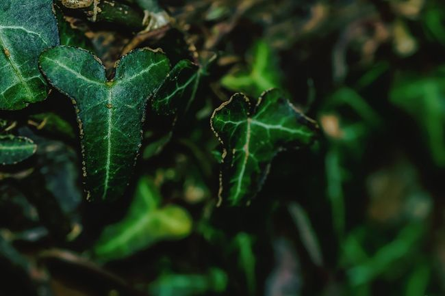 Ivy Ivy Leaves Plant EyeEm Nature Lover Nature On Your Doorstep I Love Nature Beauty In Nature Outdoors Leaf Close-up Green Ivy Leaf My Garden
