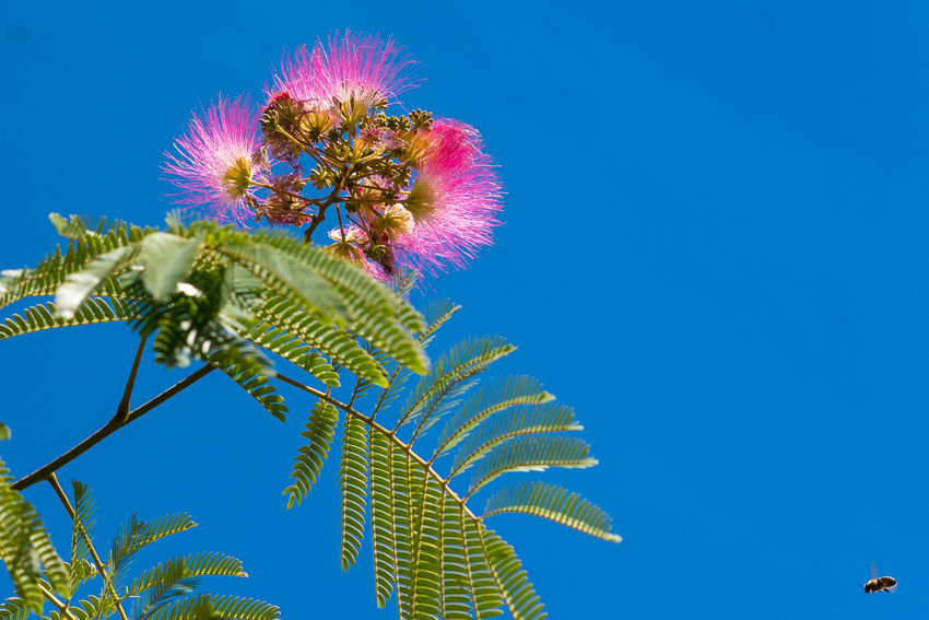 Albizia Albiziatree Beauty In Nature Blue Clear Sky Close-up Day Flower Flower Head Fragility Freshness Growth Leaf Low Angle View Nature No People Outdoors Plant Silk Flowers Silk Tree Sky Thistle Tree