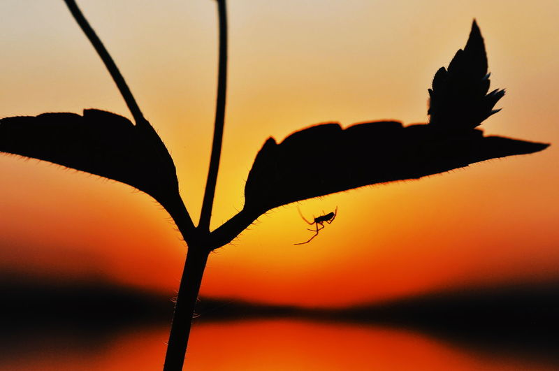 Close-up of silhouette insect against orange sky