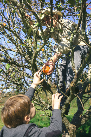 Family Harvesting Apples In Orchard