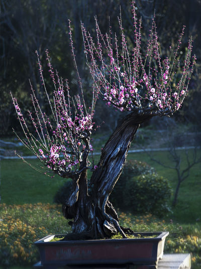 Plum blossom Views Plum Blossom Bonsai Plum Blossom Plum Blossom Views Plum Blossom Branches Black Background Plant Growth Beauty In Nature Nature Fragility Tree Day No People Vulnerability  Outdoors Flower Flowering Plant Close Up