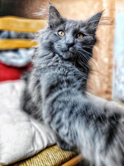Déclenchement manuel 💪🐱 Pets Portrait Domestic Cat Feline Close-up Yellow Eyes Kitten Cat Animal Eye At Home Young Animal Animal Face