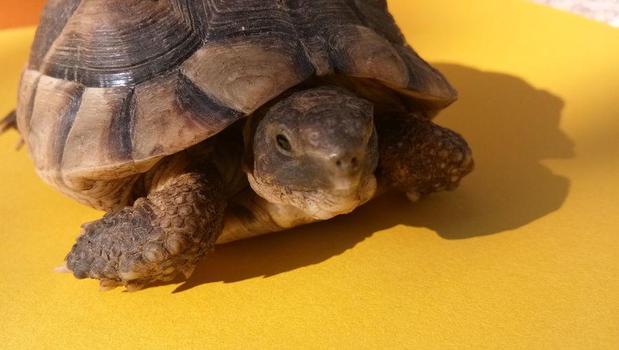 EyeEm Selects Tortoise Shell Tortoise Reptile Portrait Endangered Species Close-up Turtle